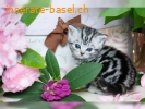 Bkh Kitten! Whiskaslook. Black Silver tabby