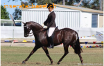 Dutch Warmblut Wallach (Ludo)