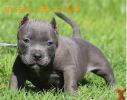 TOP American- Pitbull- Blue- Line- Welpen.