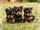 Yorkshire Terrier Welpen black and tan.